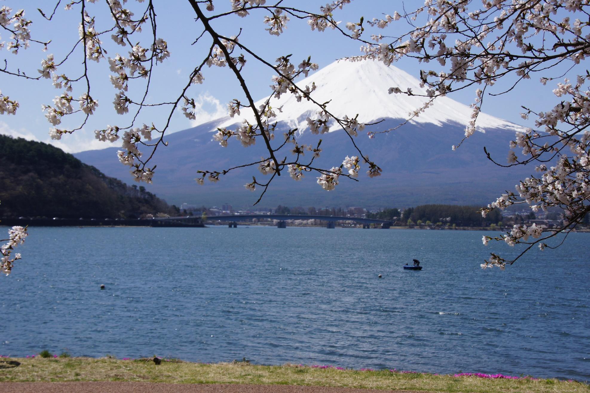 O tempo da floração, entre março e maio, varia de um ponto a outro do arquipélago, dependendo da temperatura
