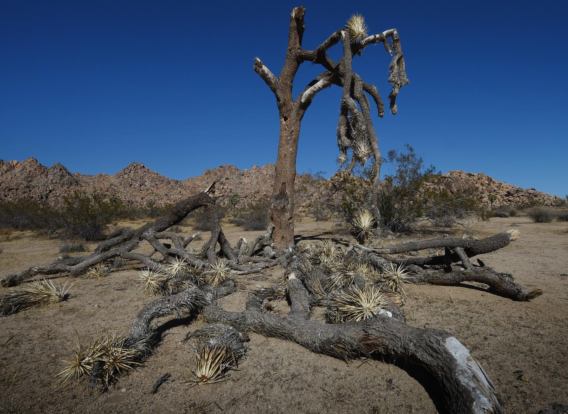 Uma tradicional árvore americana, completamente seca no Joshua Tree National Park, na Califórnia. Foto de Mark Ralston/AFP