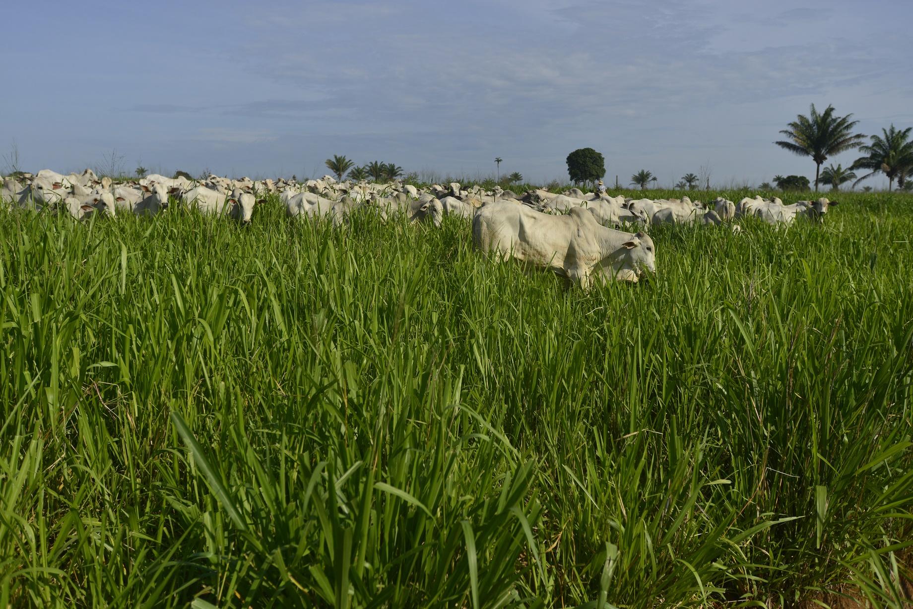 Quase 40% da carne consumida no Brasil vem da Amazônia, e a pecuária é a principal responsável pelo desmatamento na região. Arquivo ICV