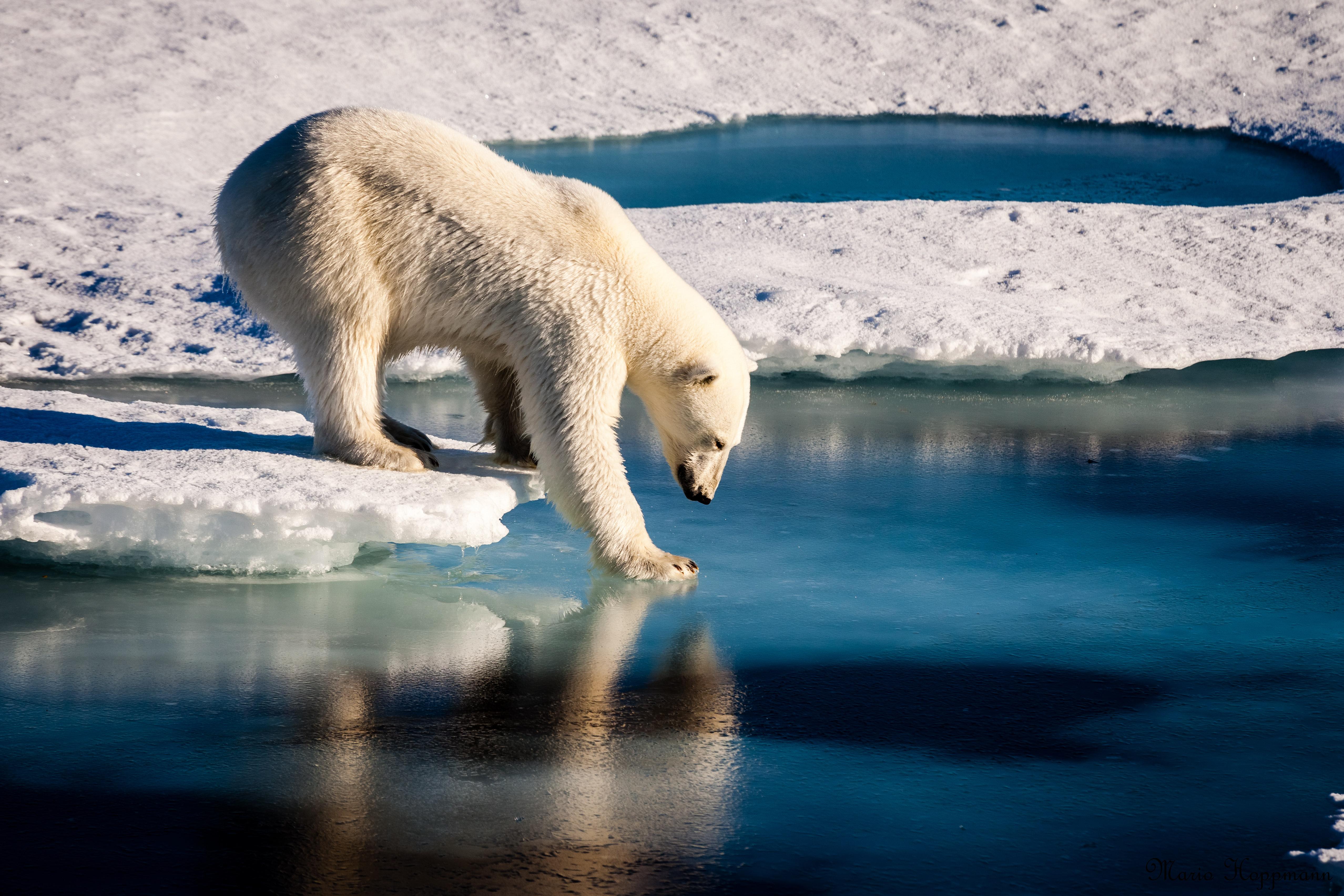 Urso polar testa a firmeza da fina camada de gelo no Ártico (Foto AFP/European Geosciences Union / Mario Hoppmann