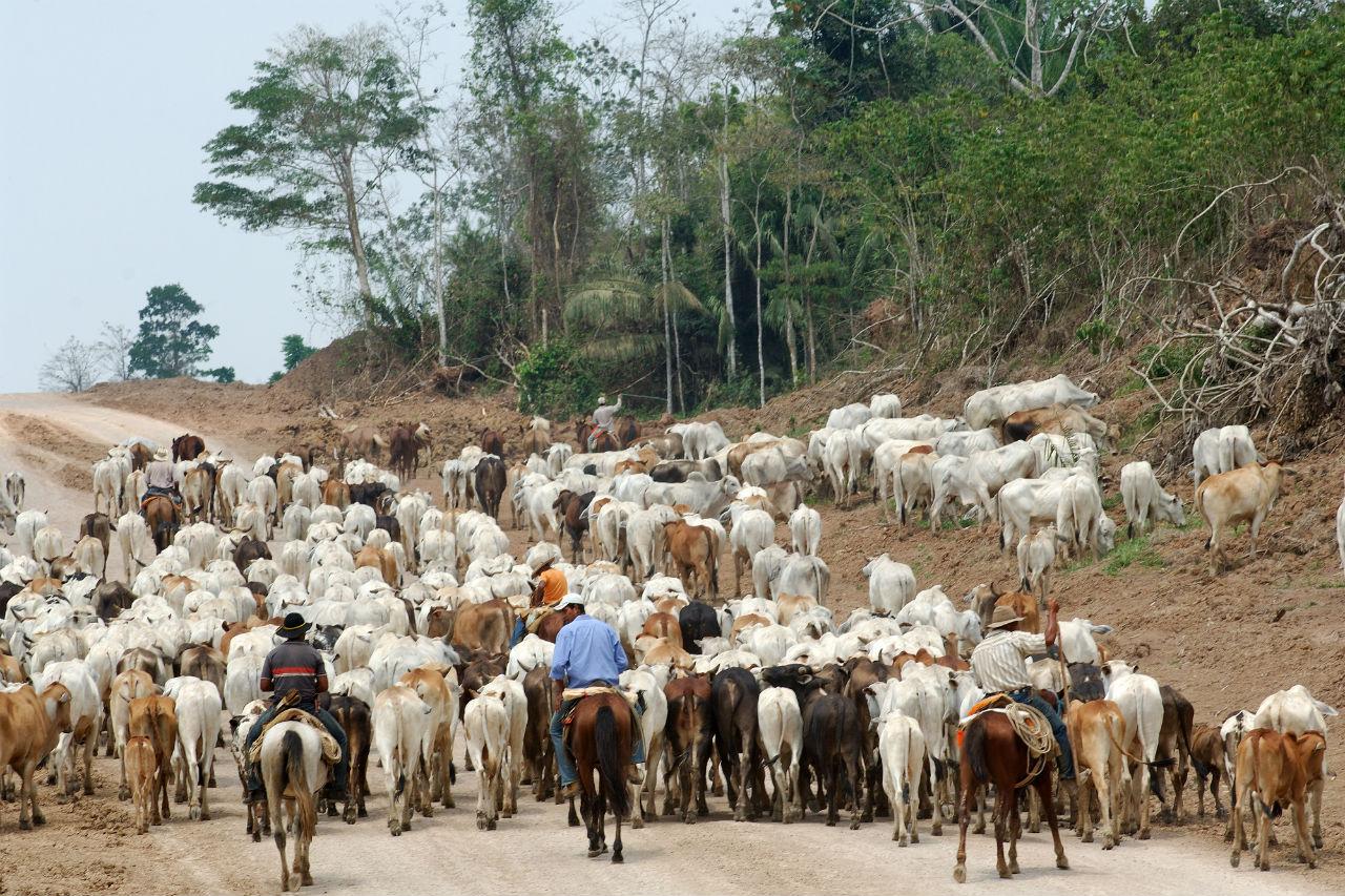 Gado na Amazônia-Foto de Antoine Lorgnier/Biosphoto/AFP