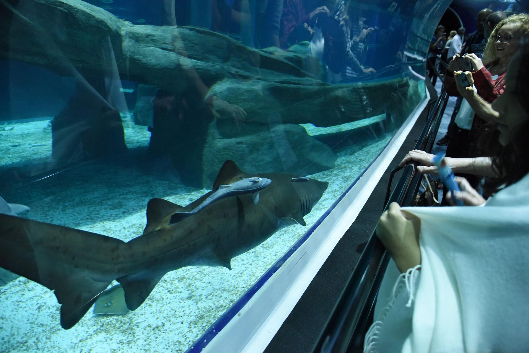 Os tubarões são a grande atração do AquaRio, o maior deles tem 2,5 metros. Foto Divulgação