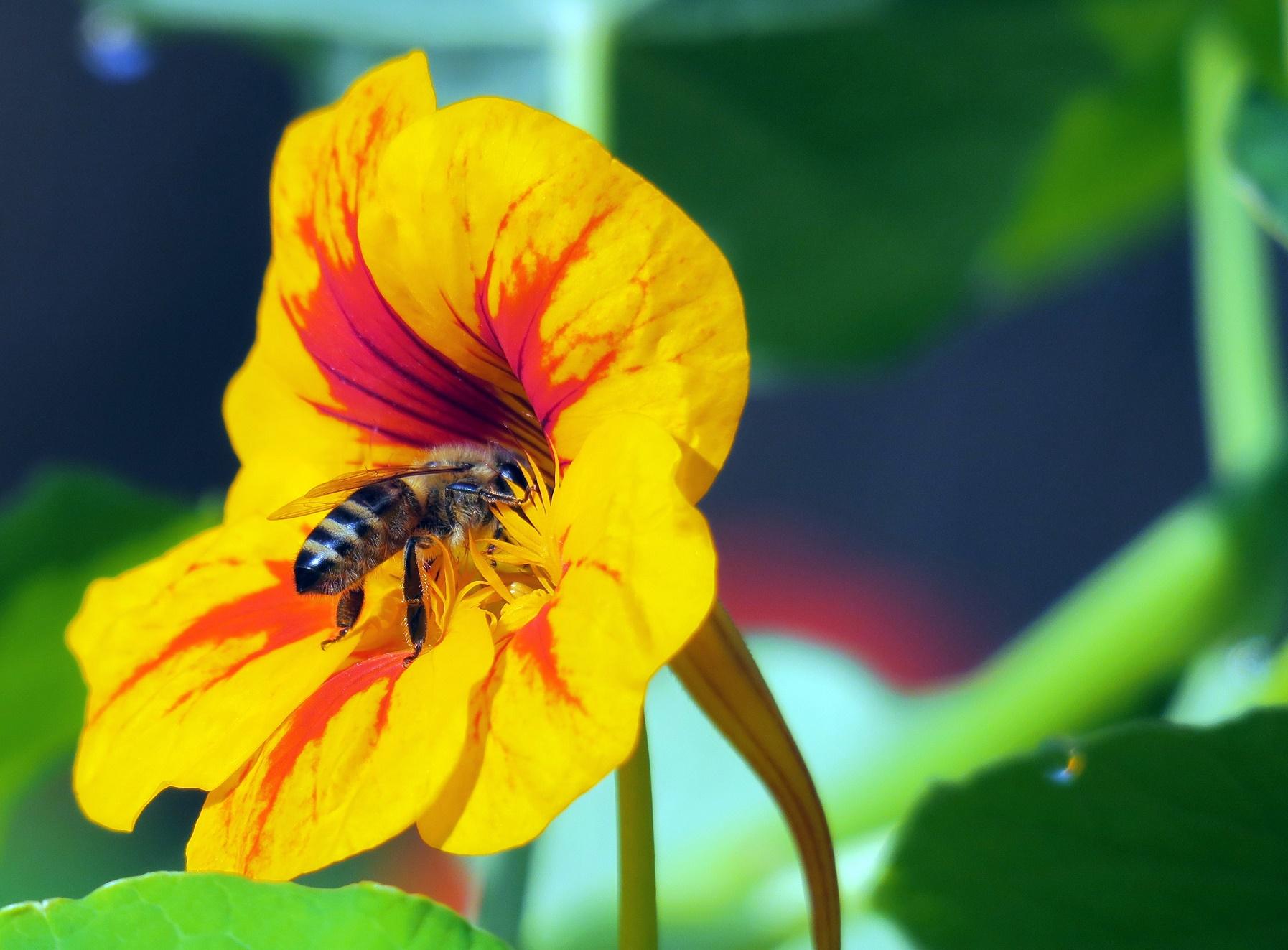 De acordo com a FAO, 90% dos alimentos do mundo dependem do poder de polinização das abelhas. Foto SOEREN STACHE / ZB / DPA