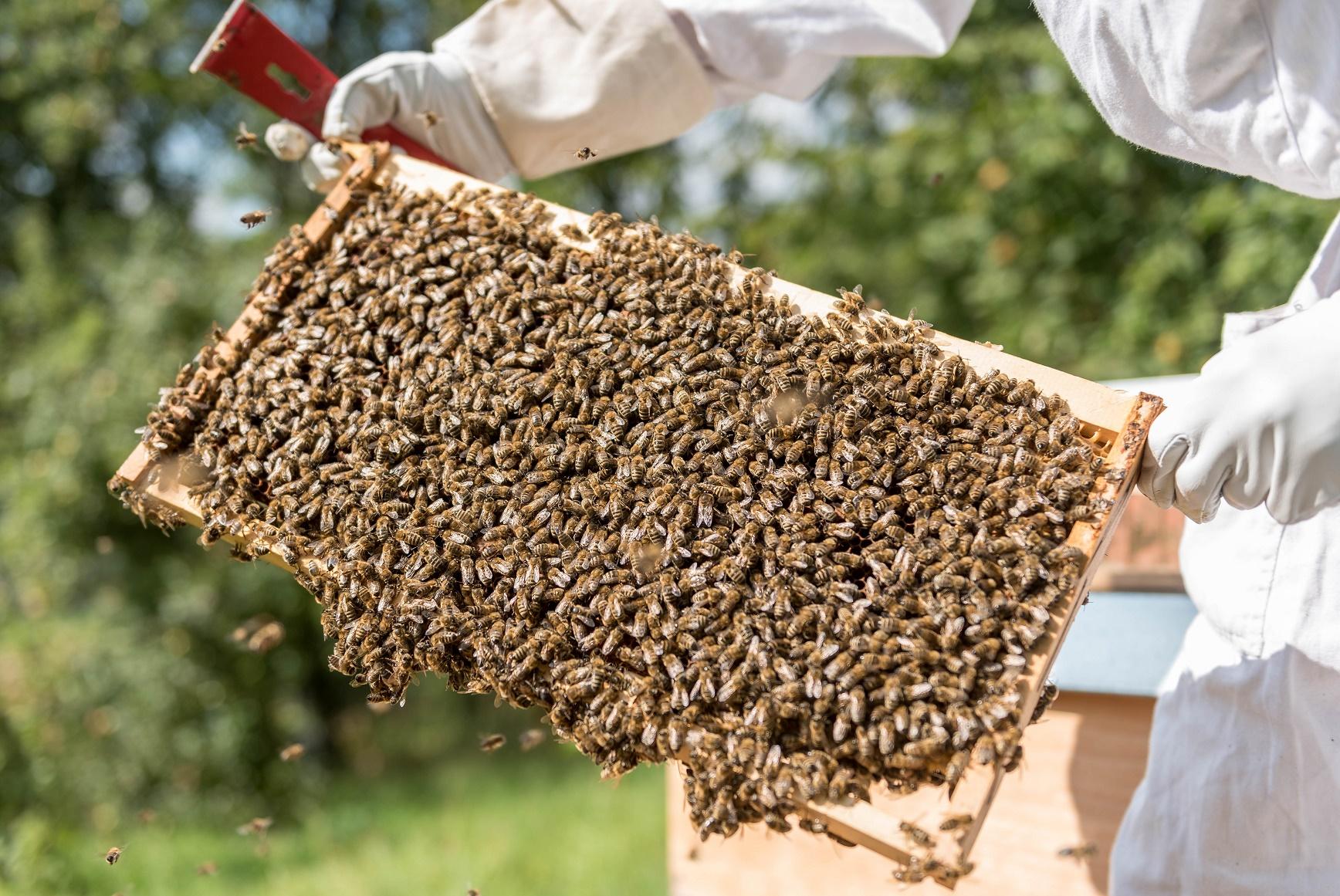O uso de agrotóxicos e a plantação de Organismos Geneticamente Modificados estão entre as causas do desaparecimento das abelhas. Foto DANIEL MAURER/dpa