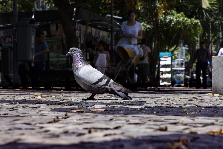 Os pombos que estão por toda parte no Rio foram trazidos em navios diretamente de Portugal (Foto Marcio Menasce)