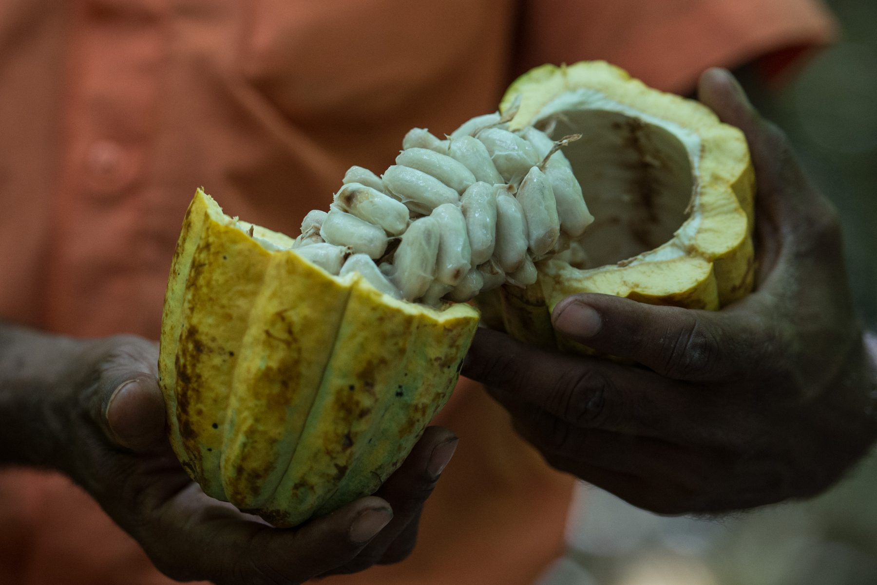 TO GO WITH AFP STORY BY YANA MARULL A farmer shows cocoa beans in Sao Felix do Xingu, Para state, northern Brazil, on August 7, 2013. AFP PHOTO / YASUYOSHI CHIBA / AFP PHOTO / YASUYOSHI CHIBA