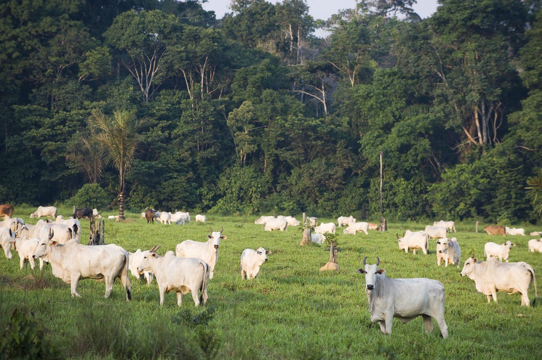 Área de reserva na Amazônia ocupada ilegalmente por gado. Foto Antonio Scorza/AFP