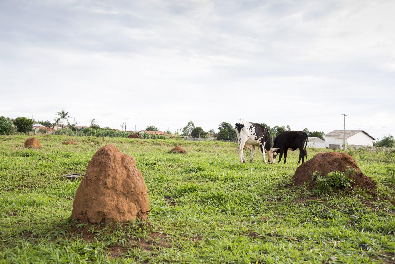 Fazenda Santa Brígida, em Ipameri, Goiás. Sistema Integração Lavoura Pecuária Floresta - ILPF. Não é dentro da propriedade.