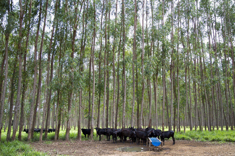 Gado convive de forma harmoniosa com a floresta de eucalipto. Foto de Simone Marinho