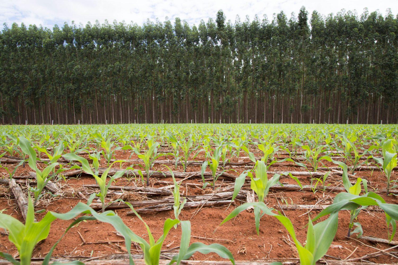 Fazenda Santa Brigida,, em Ipameri, combina plantacao de milho com floresta da eucalipto.
