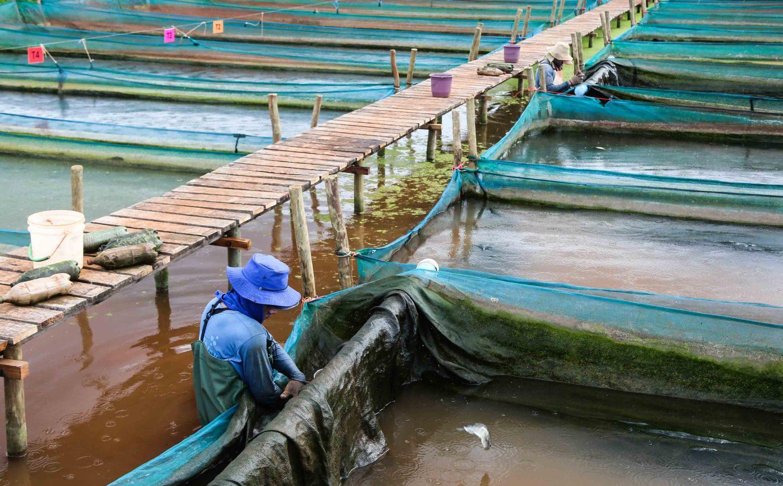 Criação de alevinos na fazenda Peixe Vivo: medida aumentou produção e melhorou qualidade (Foto: Fernando Maia)