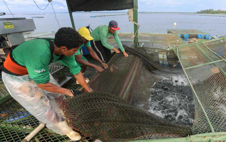 Trabalho na criação de Tilápias em Santa Fé do Sul :geração de empregos no Noroeste paulista (Foto: Fernando Maia)