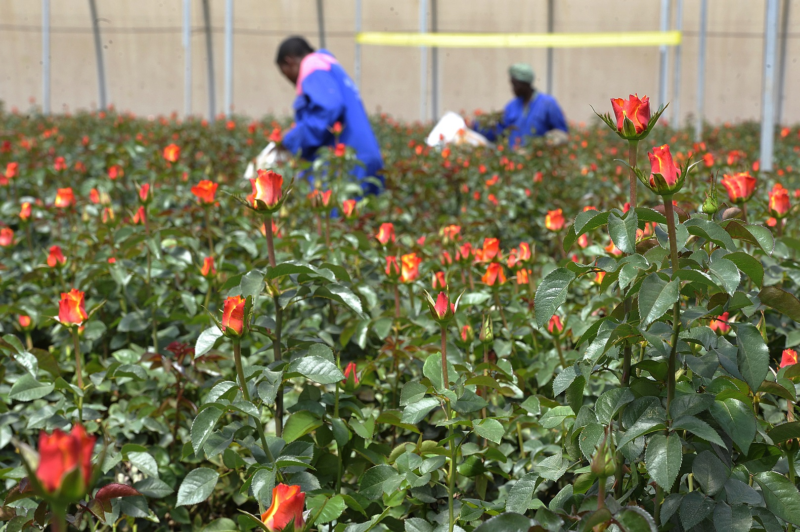 Trabalhadoras da fazenda Maridaidi, em Naivasha, colhem rosas para serem exportadas para a Europa. Foto Saimon Maina/AFP