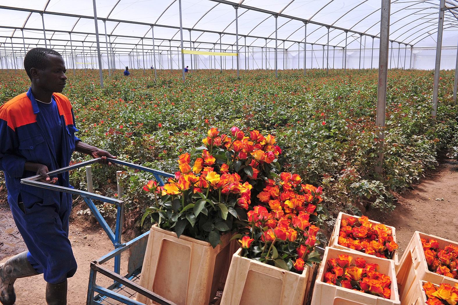O Quênia é o segundo maior exportador de flores para o Reino Unido, com mais de 13 mil toneladas por ano. Foto Saimon Maina/AFP