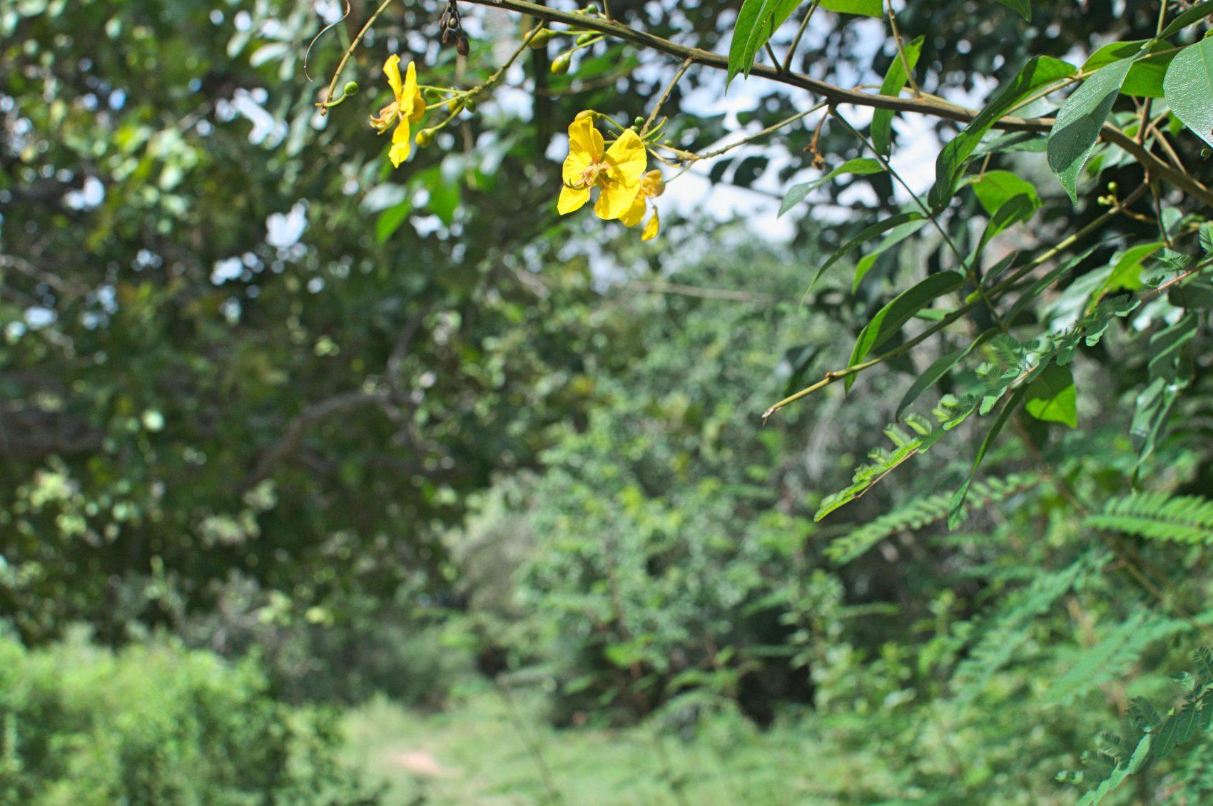 Fedegoso do Cerrado: a mata do bioma tem muito a oferecer (Foto Flavia Milhorance)