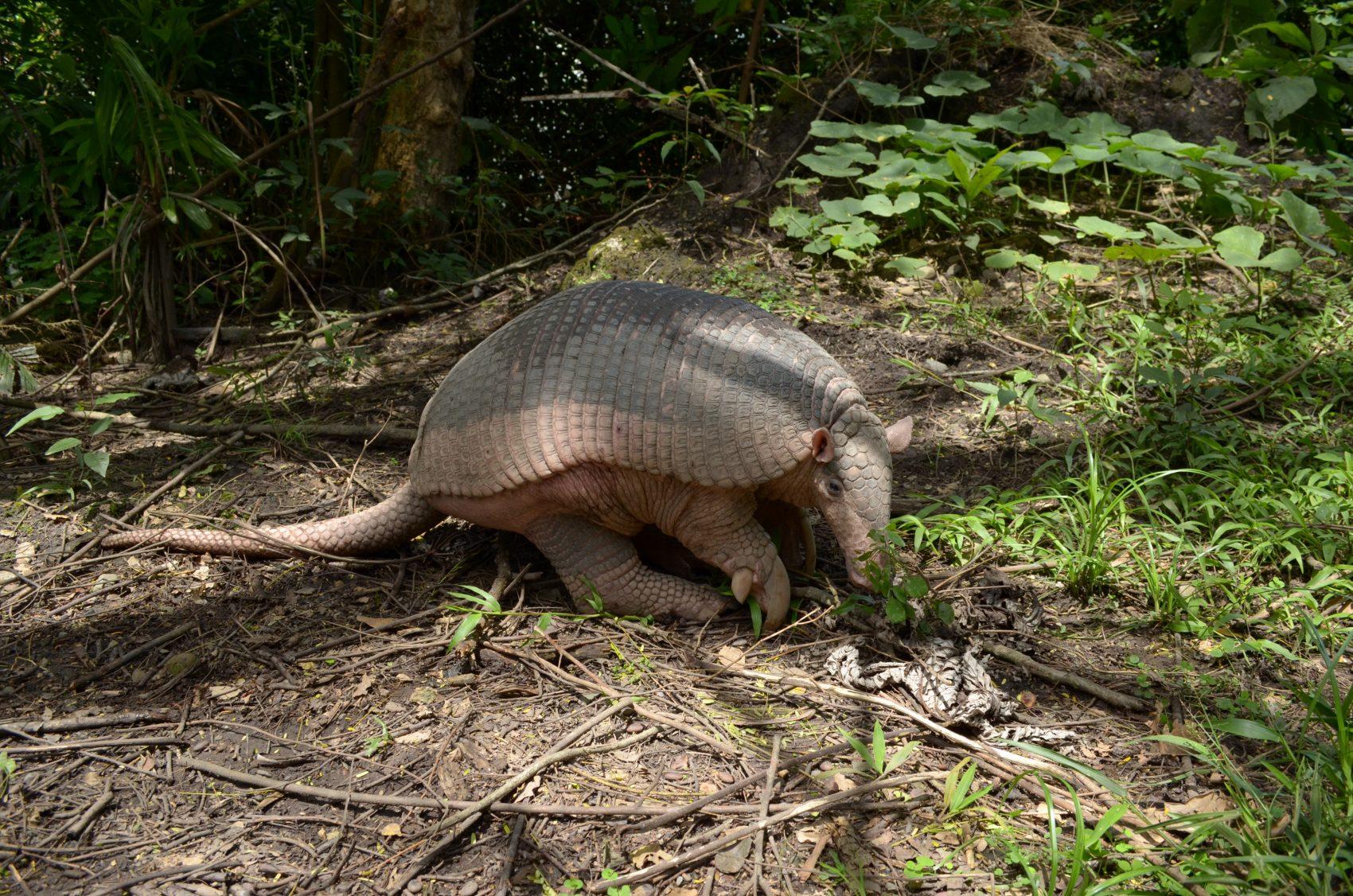 O tatu-canastra é uma das espécies ameaçadas do Cerrado (Foto Fernando Trujillo/IUCN )
