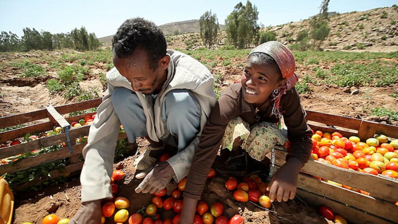Produtores de tomate na Etiópia . Falta de infraestrutura e treinamento impediam o crescimento da produção. Foto Banco Mundial