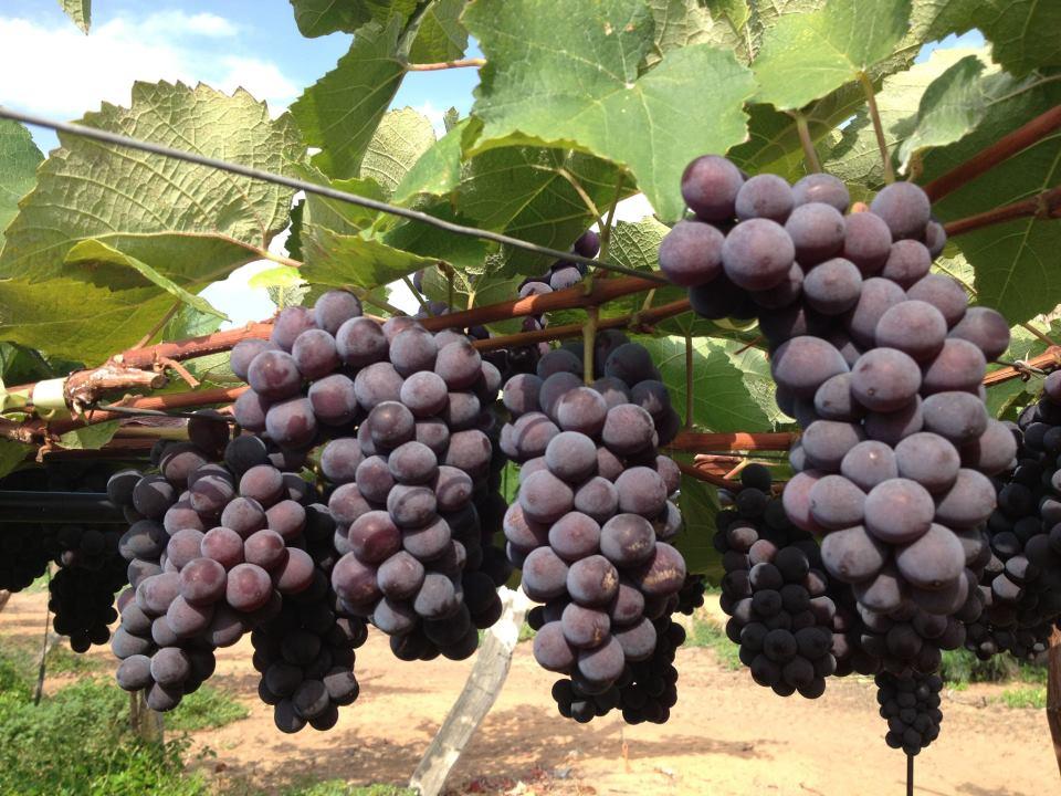 A Coana, cooperativa que cultiva uva, é exemplo de bom uso da agricultura de precisão (Foto Coana)