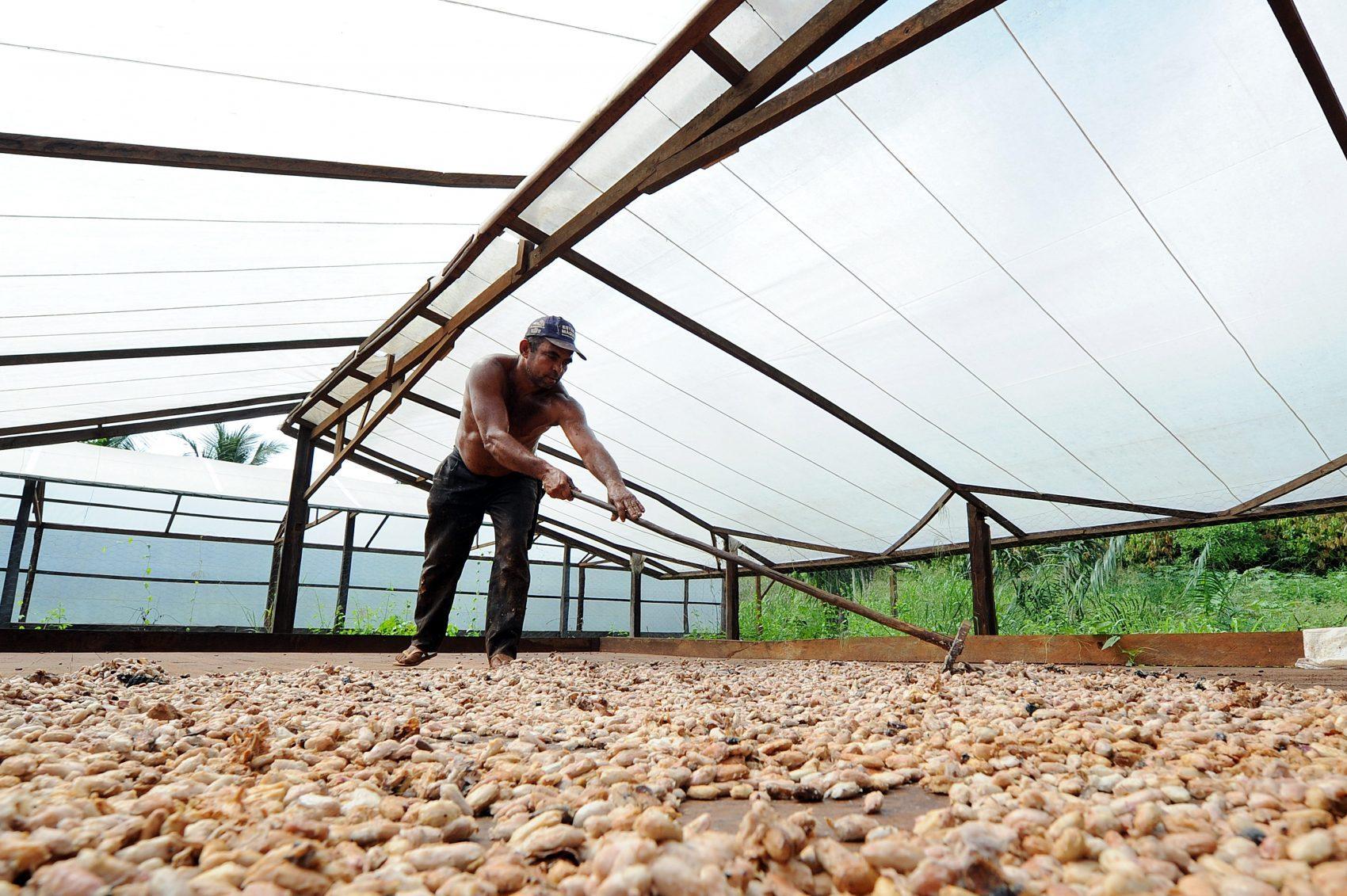 Agricultor espalha as sementes de cacau em Medicilândia: a capital do cacau sustentável (Evaristo Sá / AFP)