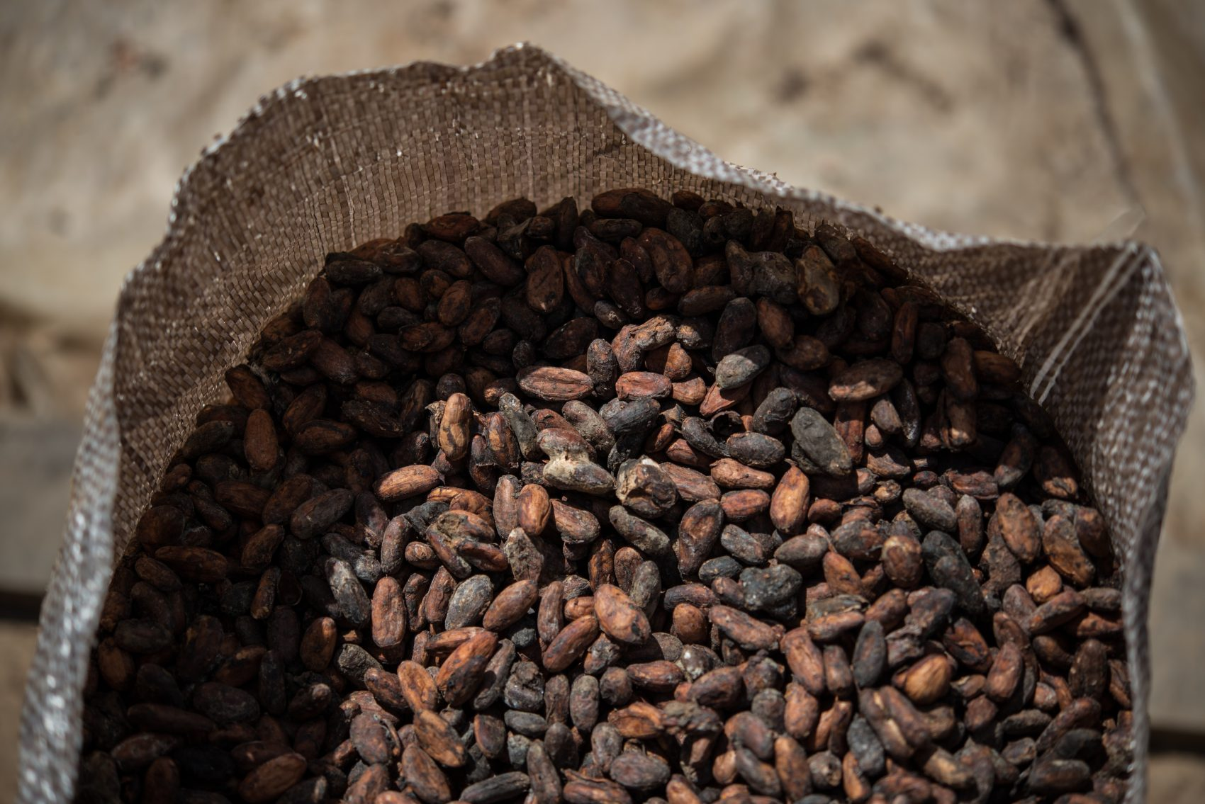 O cacau seco: qualidade do chocolate vai depender da qualidade das sementes (Foto Yasuyoshi Chiba/AFP)