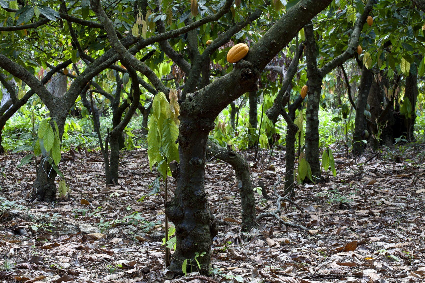 Plantação de cacau no estado do Espírito Santo, um dos polos brasileiros (Biosphoto / Michel Gunther/AFP)