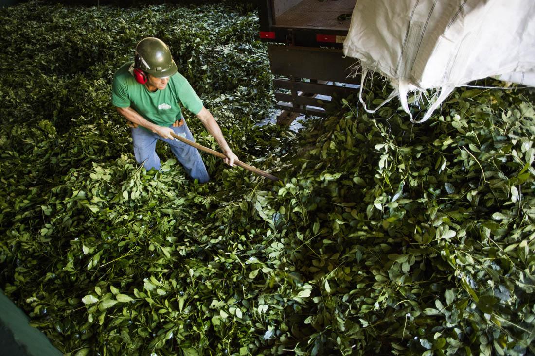 A maior parte da produção da ervateira Gheno é vendida à Leão (Foto Fábio Seixo/coca-Cola Brasil)