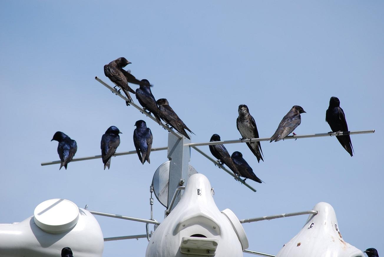 As primeiras antenas de monitoramento de aves foram instaladas em uma torre 42 metros sobre a floresta. Foto Purple Martin Conservation Association