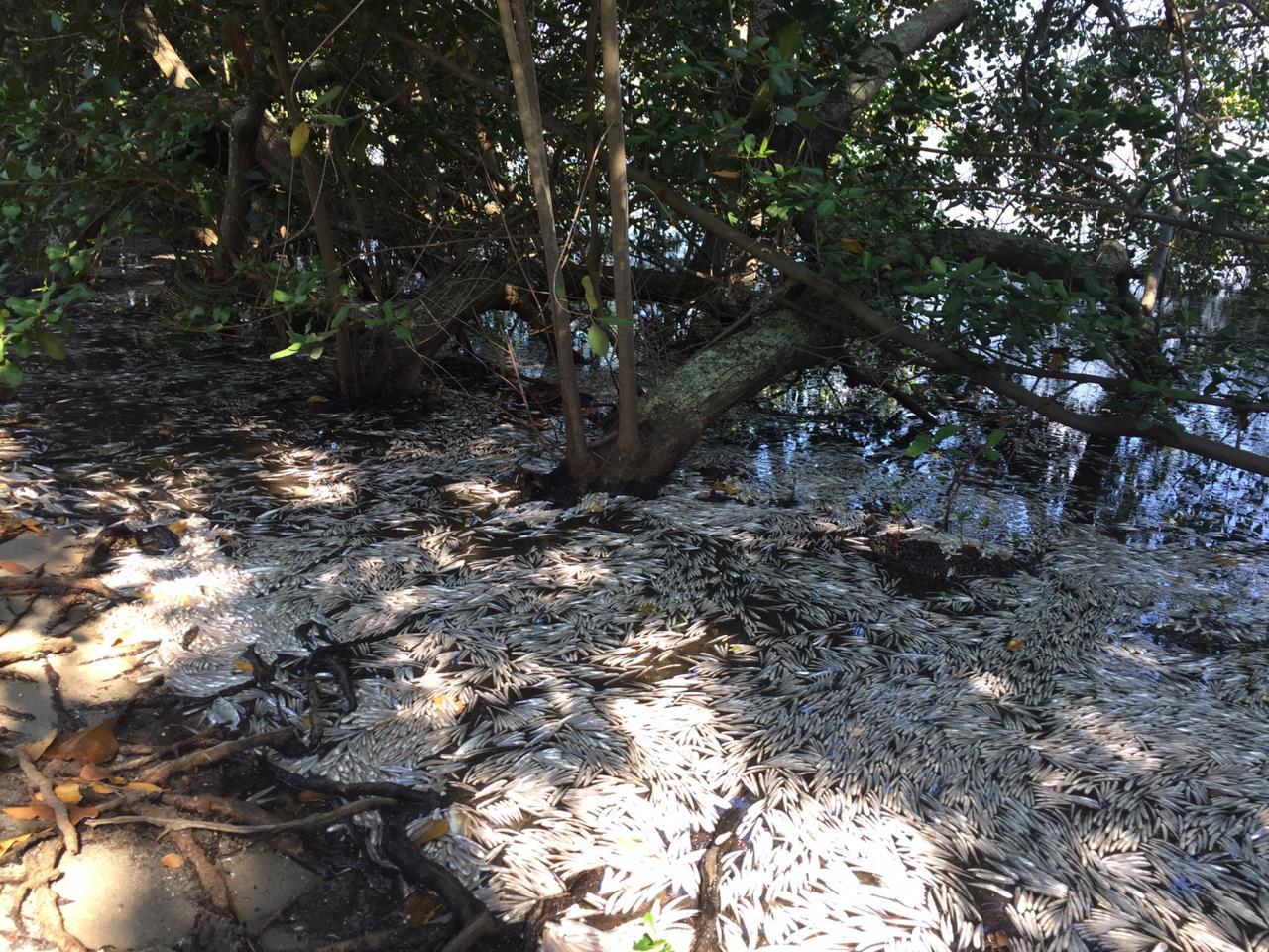 Milhares de pequenas savelhas mortas na Lagoa Rodrigo de Freitas. Foto Agostinho Vieira
