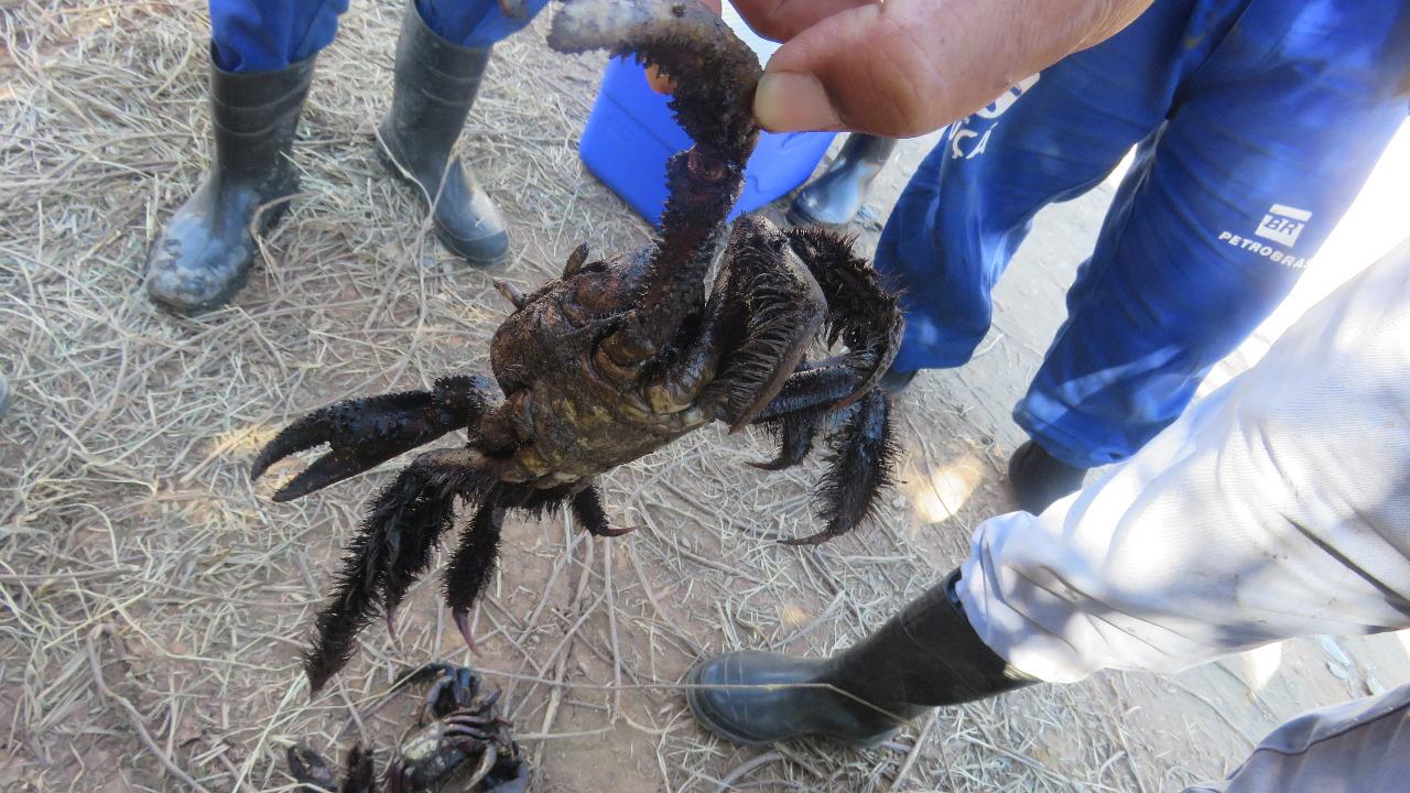 Denúncias apontam a morte de caranguejos e aves como resultado do vazamento (Foto ICMbio)