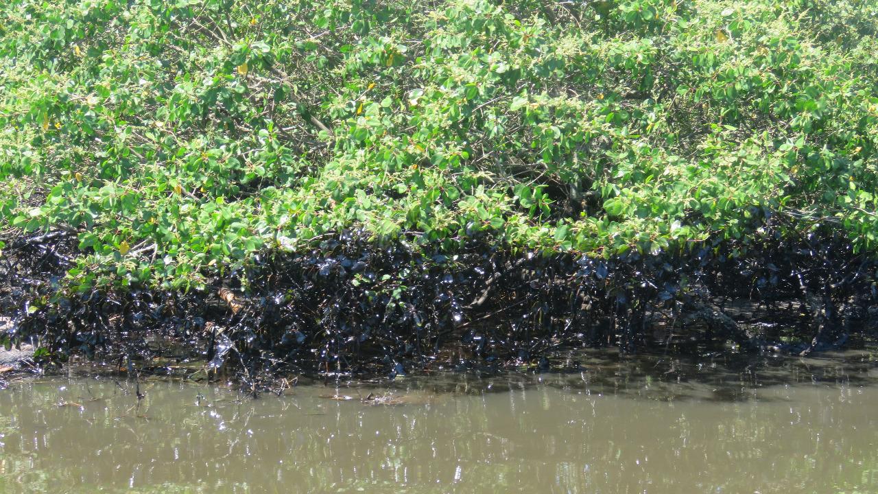 Manguezal atingido pelo vazamento de óleo da Transpetro (Foto IcmBio)