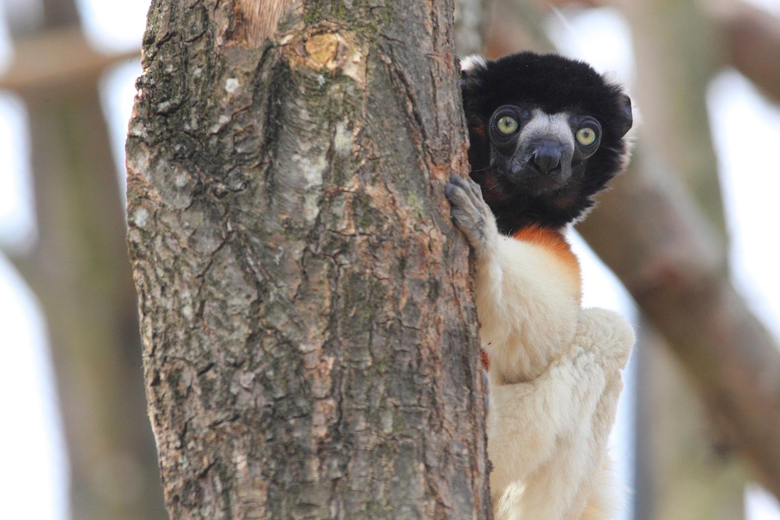 Cientistas alertam que o Lemur, animal símbolo da ilha de Madagarcar, pode deixar de existir até 20140. Foto Manuel Cohen