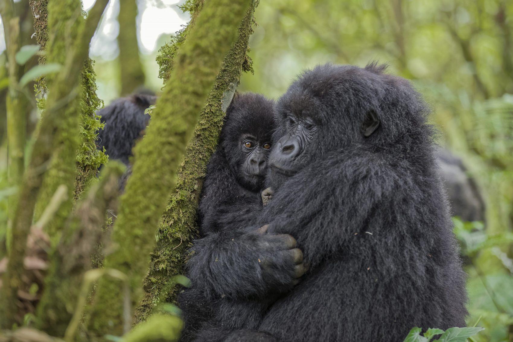 Gorilas-das-montanhas atraem turistas de alto luxo para Ruanda (Foto Fabrice Guerin/Biosphoto)