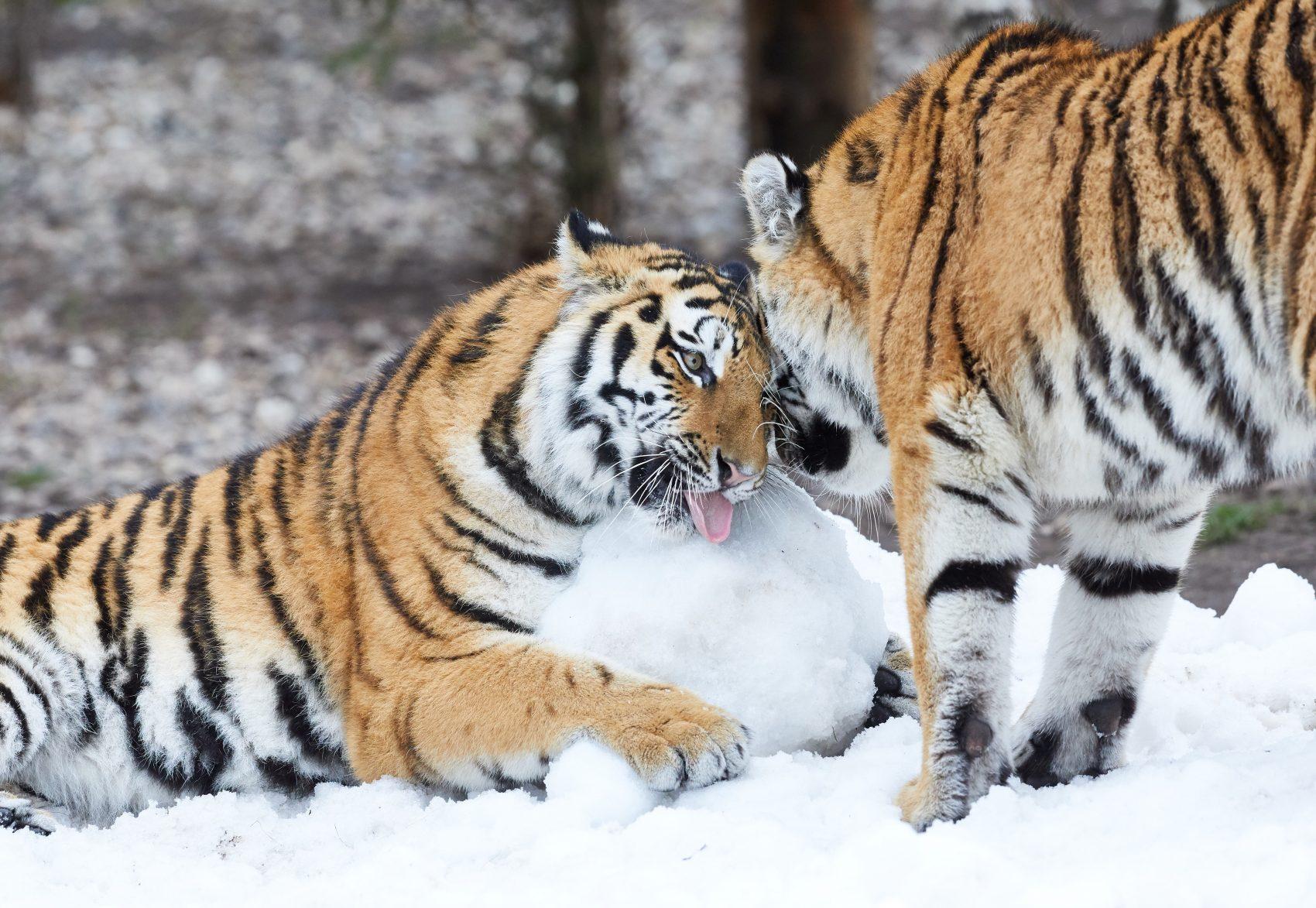Tigres siberianos, uma das espécies ameaçadas de extinção pela ação predatória dos seres humanos e o aquecimento global: 25% dos mamíferos ameaçados de extinção (Foto: Georg Wendt/DPA)