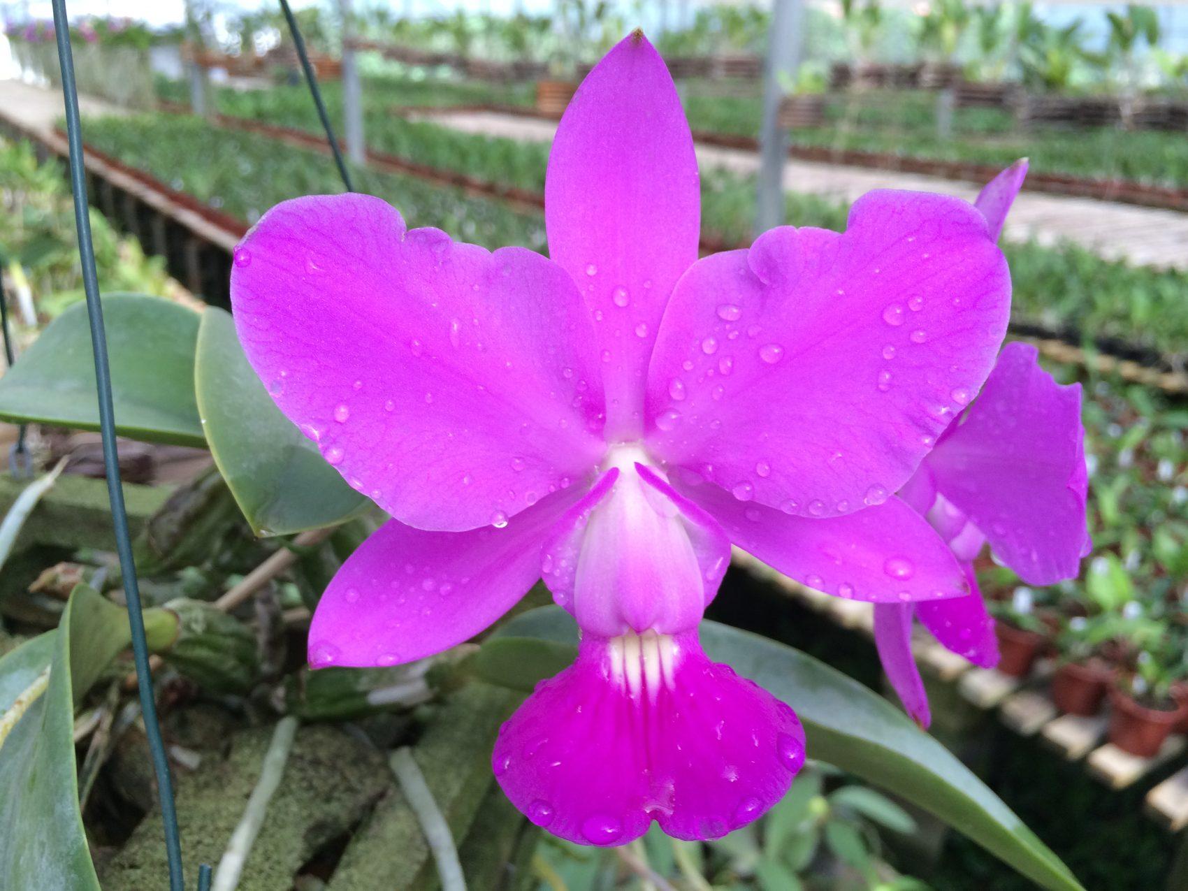 Orquídea: cuidados especiais para cultivar podem ser aprendidos em evento no Jardim Botânico (Foto: Divulgação)