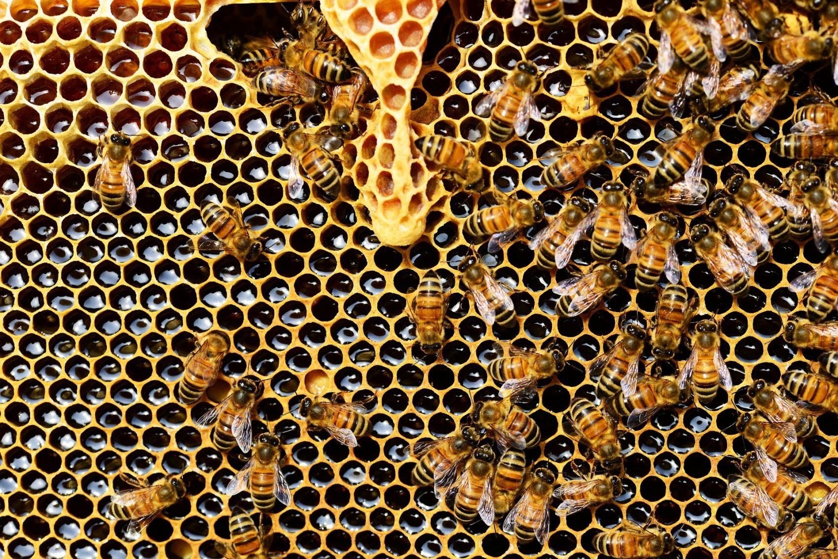 Abelhas em colmeia: pesquisa constatou que fungicida considerado inofensivo em combinação com outro agrotóxico alterou comportamento de operários e afetou toda a vida da colônia (Foto: Pixabay)