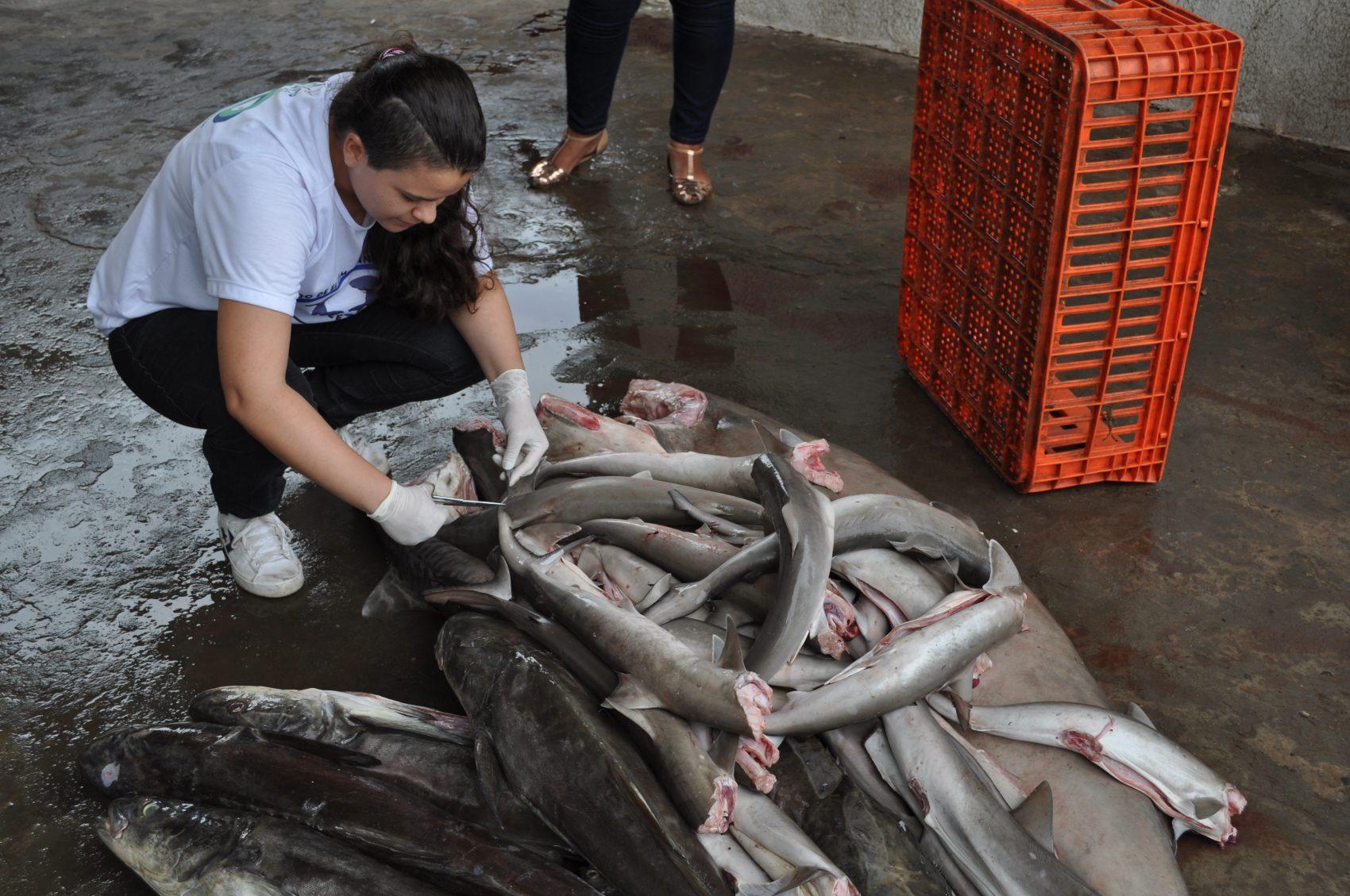 Tubarões recolhidos em mercado: pescado e comércio ilegais flagrados por projeto de pesquisa (Foto: Divulgação/UFMA)