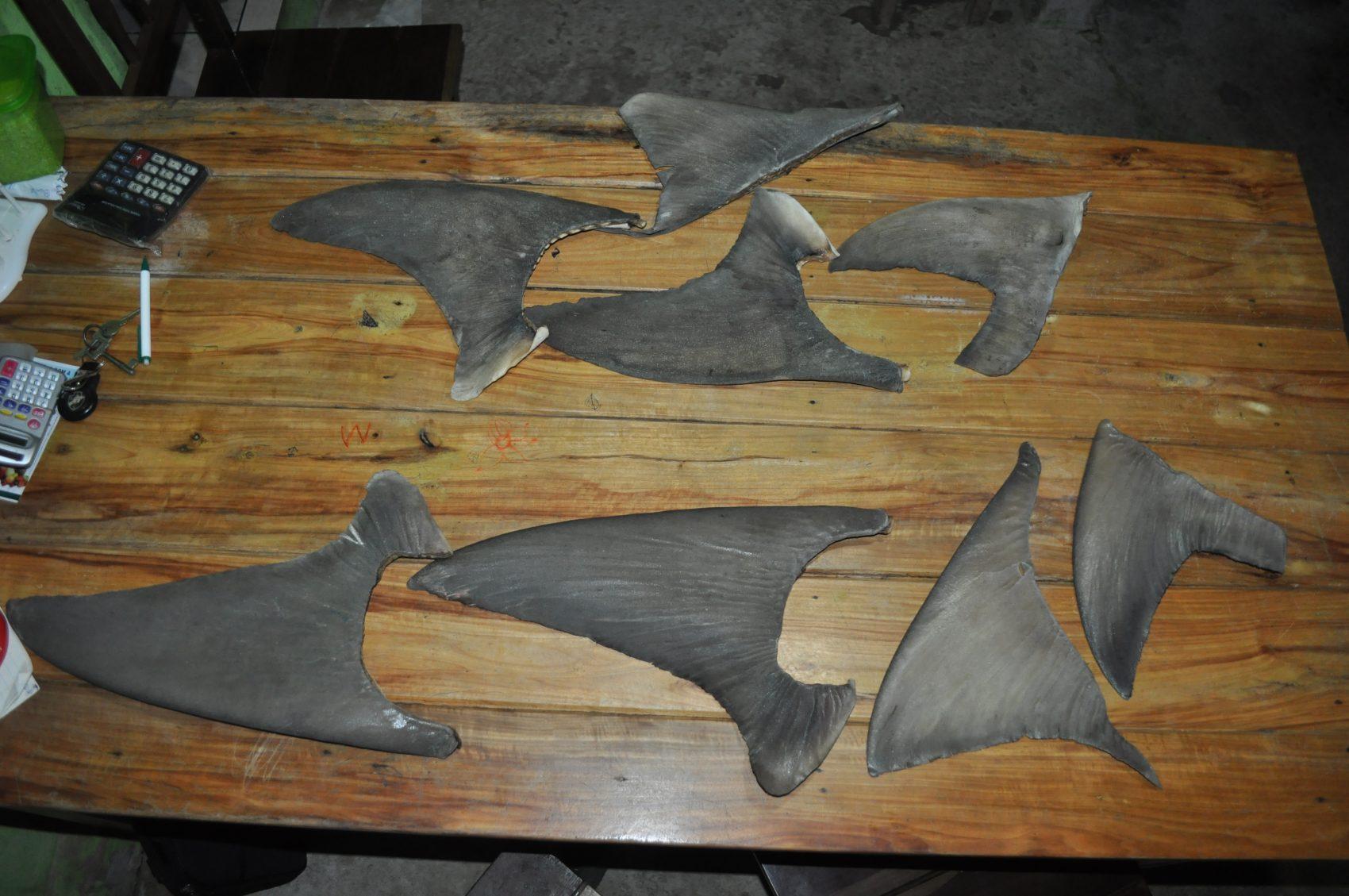 Barbatanas dos tubarões retiradas para comercialização: venda ilegal (Foto: Arquivo Pessoal Jorge NUnes)