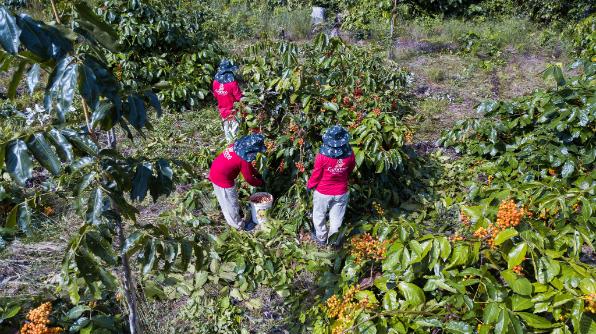 Na propriedade da família de seu Concha e dona Cristina, localizada na Colônia Boa Esperança, são mais de 2 mil pés de guaraná (Foto: Bruno Zanardo)