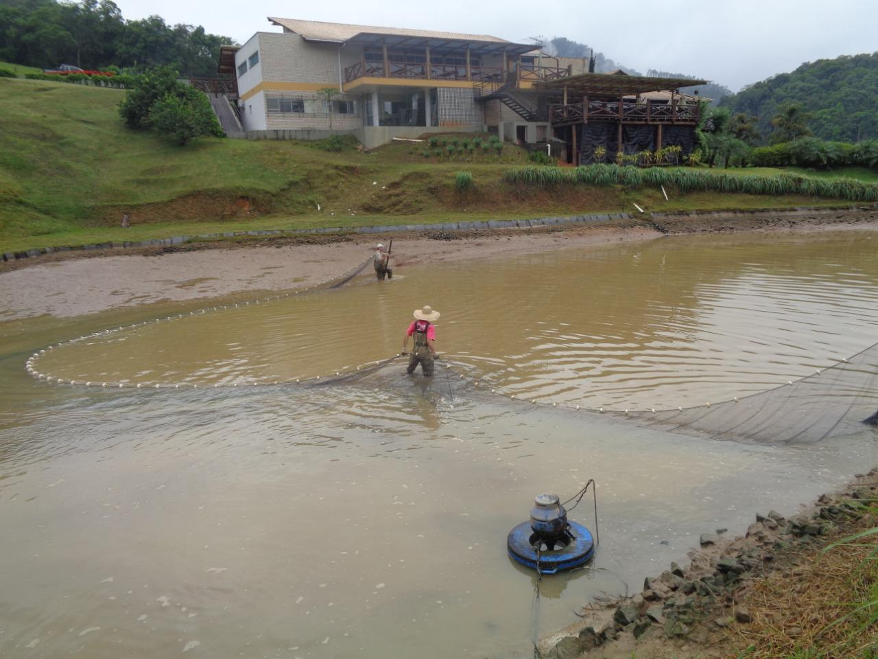 Despesca - captura em viveiro - dos peixes orgânicos do projeto do IFSC: certificação inédito (Foto: Divulgação/IFSC