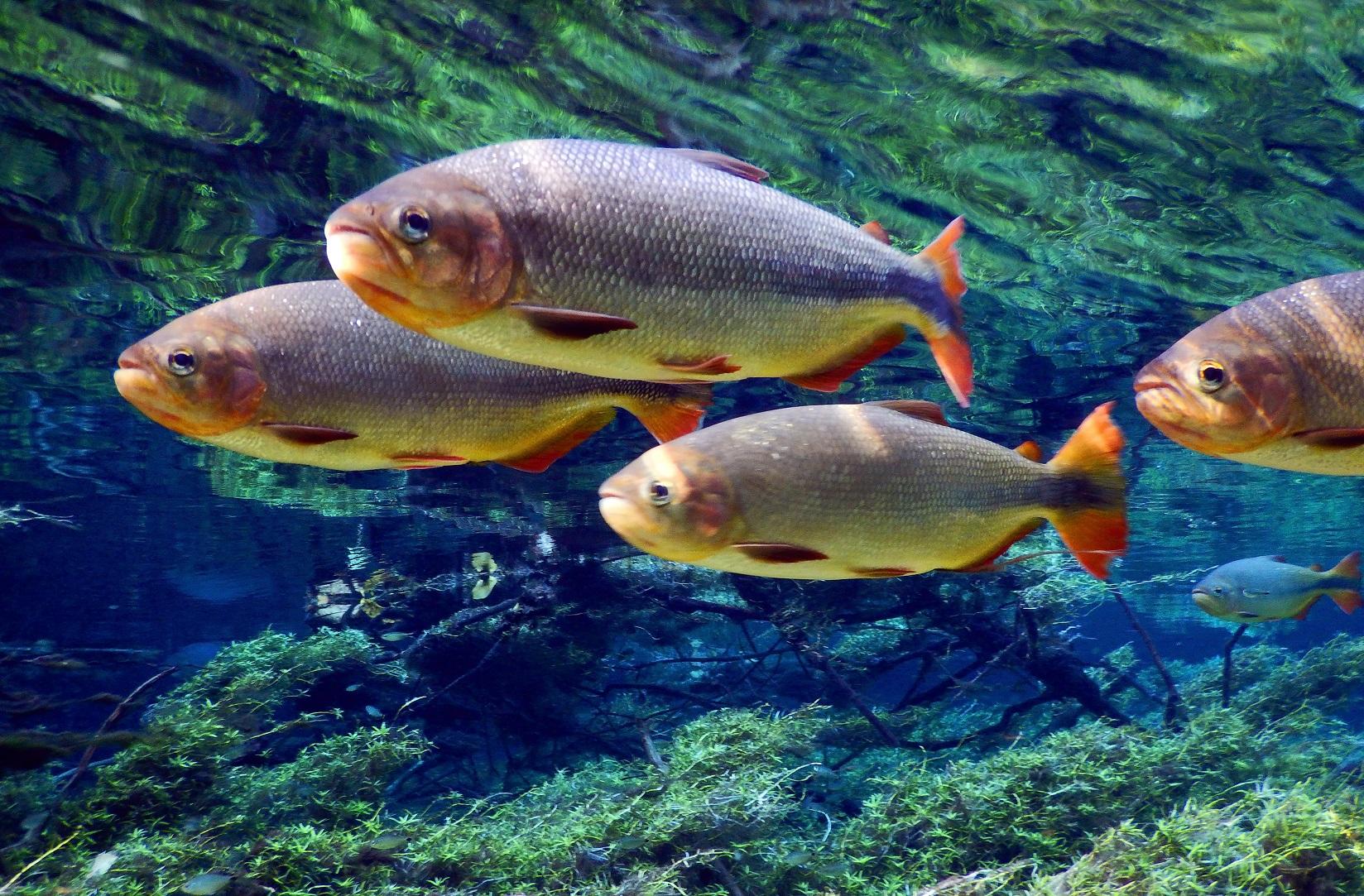 Piraputangas, em Bonito, no Mato Grosso do Sul. Cerca de um terço dos peixes pescados no Brasil são de água doce. Foto José Sabino/BPBES