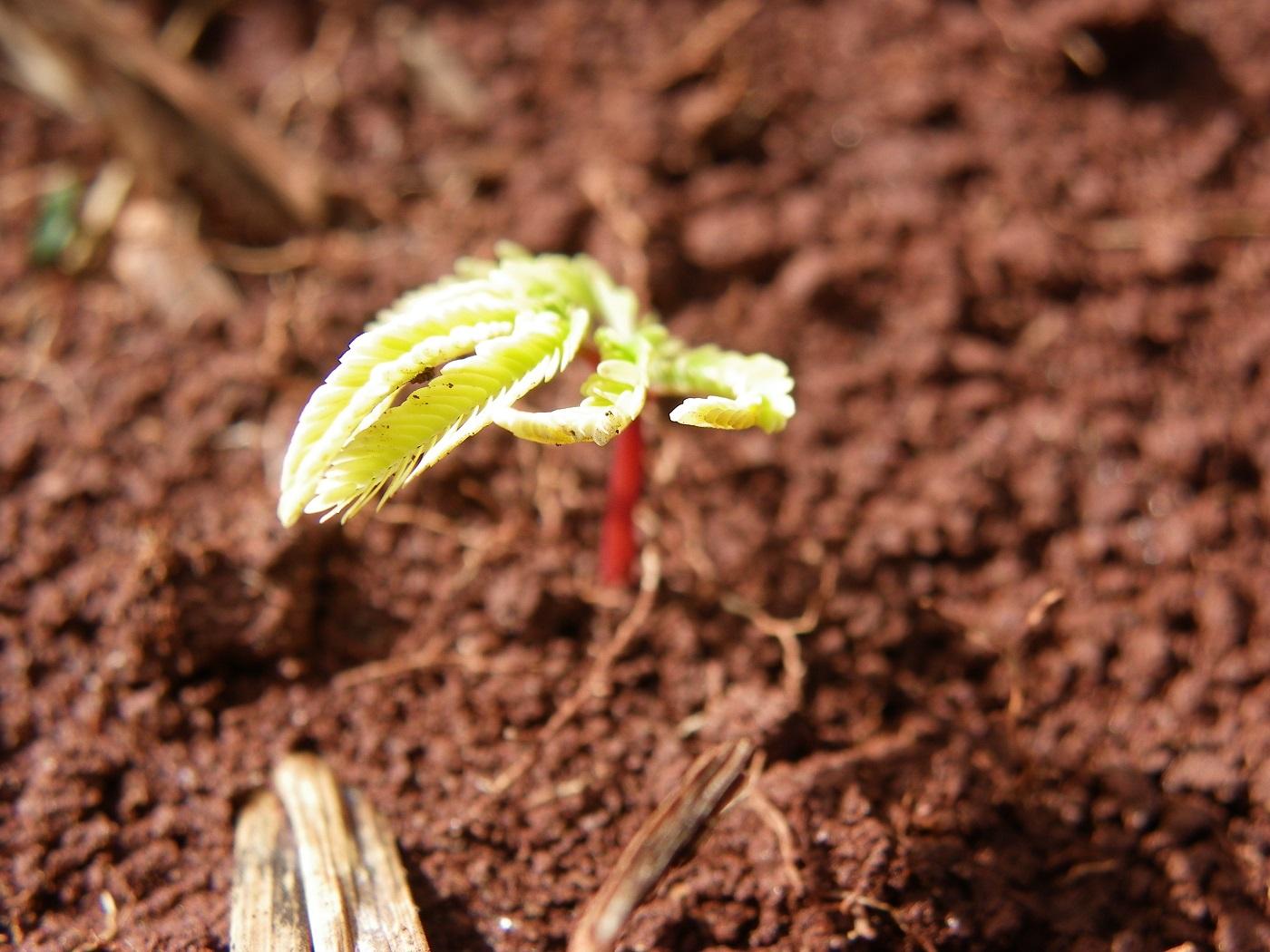 Muda de angico germinando em uma área de reflorestamento. Foto Letícia Garcia