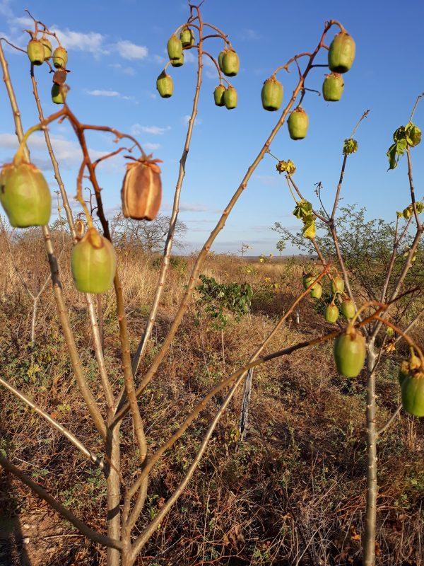 Algodão-do-mato crescendo na Caatinga. Foto Gislene Ganade