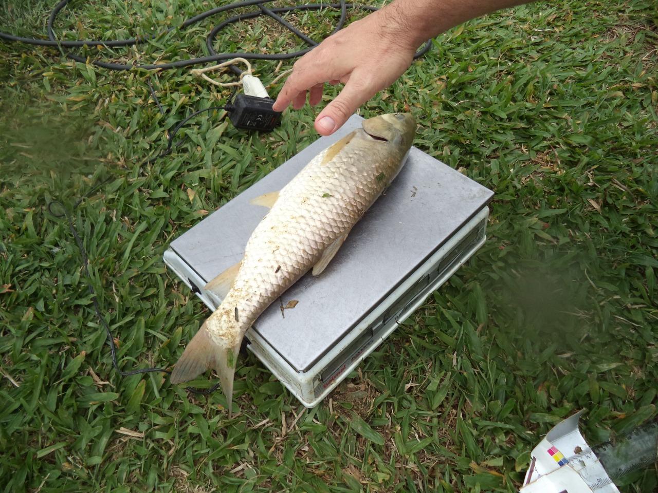 Carpa passando por processo de medição: falta de ração orgânica atrasou crescimento dos peixes (Foto: Divulgação/IFSC)