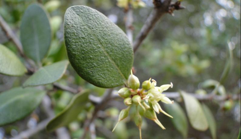 Quixaba, planta da Caatinga, teve suas cicatrizantes e anti-inflatórias mapeadas em pesquisa da Universidade Federal do Ceará (Foto: Pedro Everson de Aquino)