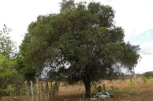 A quixaba pode alcançar até 18 metros de altura e, apesar de natural da caatinga. é encontrada no Pantanal e até no Rio Grande do Sul (Foto: Pedro Everson de Aquino)