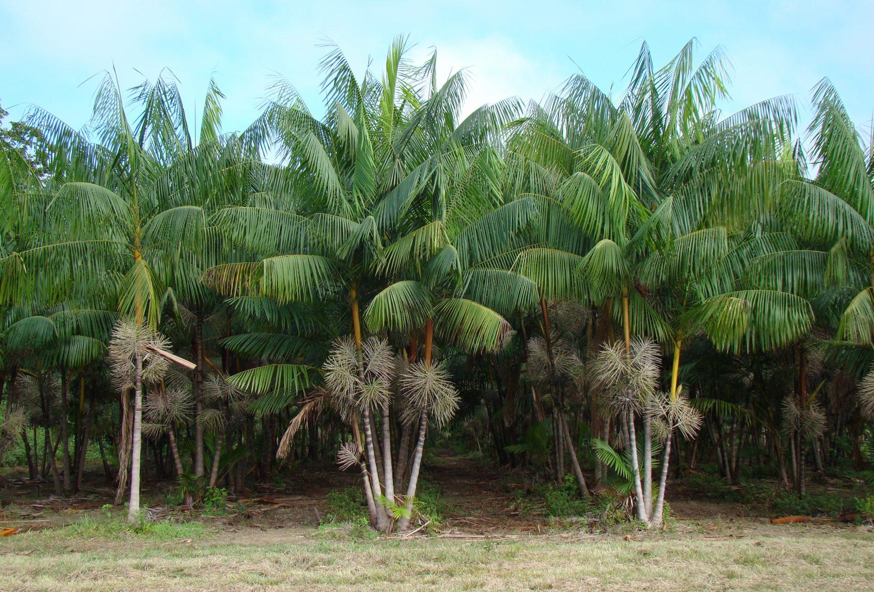 Plantação de açaí, típica da Amazônia, apoiada pela Embrapa: exemplo de boa convivência com a flores (Foto: José Edmar de Carvalho/Embrapa)