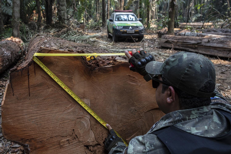 As cento e onze toras somaram 327,24 metros cúbicos que foram doados para a prefeitura municipal de Campo Novo de Rondônia, distante 76 km do ponto do desmate. Foto Marizilda Cruppe