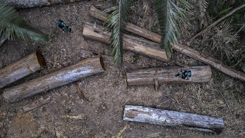As 111 toras estavam divididas em seis esplanadas. Os madeireiros abriram 6 km de trilhas dentro da mata. Foto Marizilda Cruppe