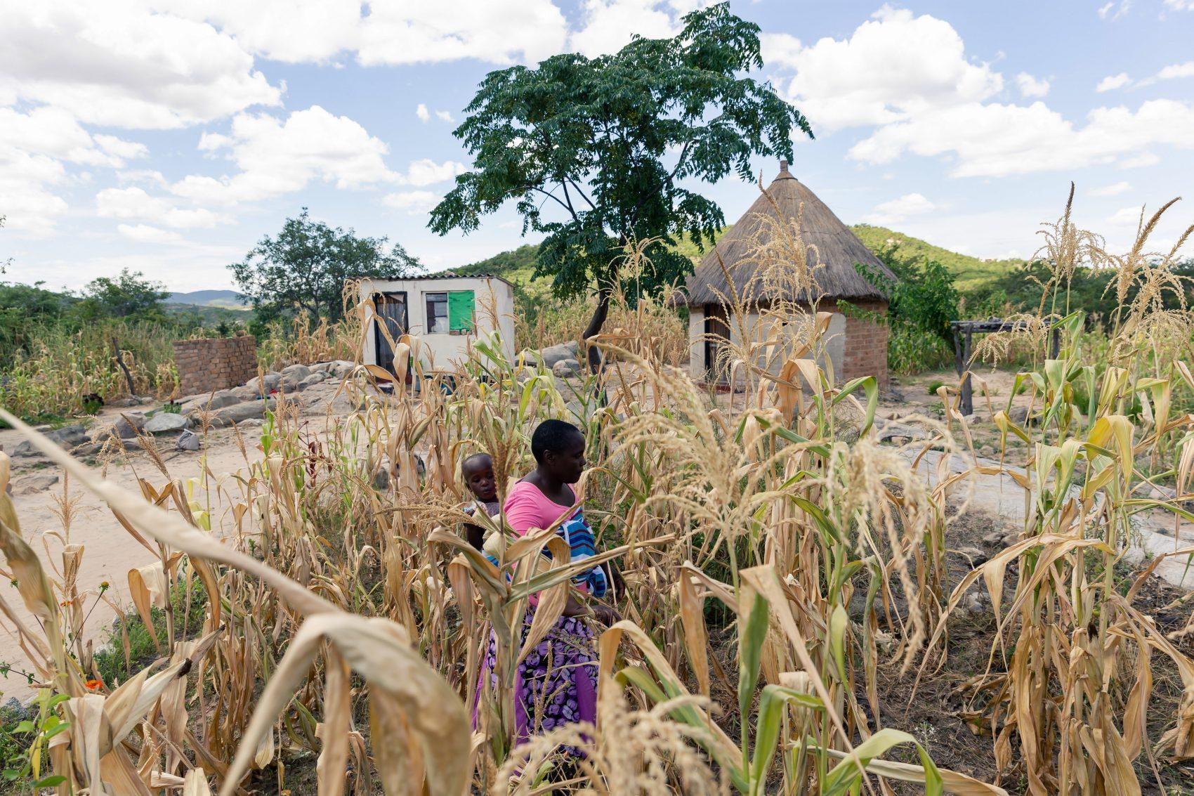 Plantação de milho arrasada pela seca prolongada no oeste de Zimbábue: fome ameaça dois milhões de pessoas no país africano (Foto: Jekesai Njikizana/AFP)