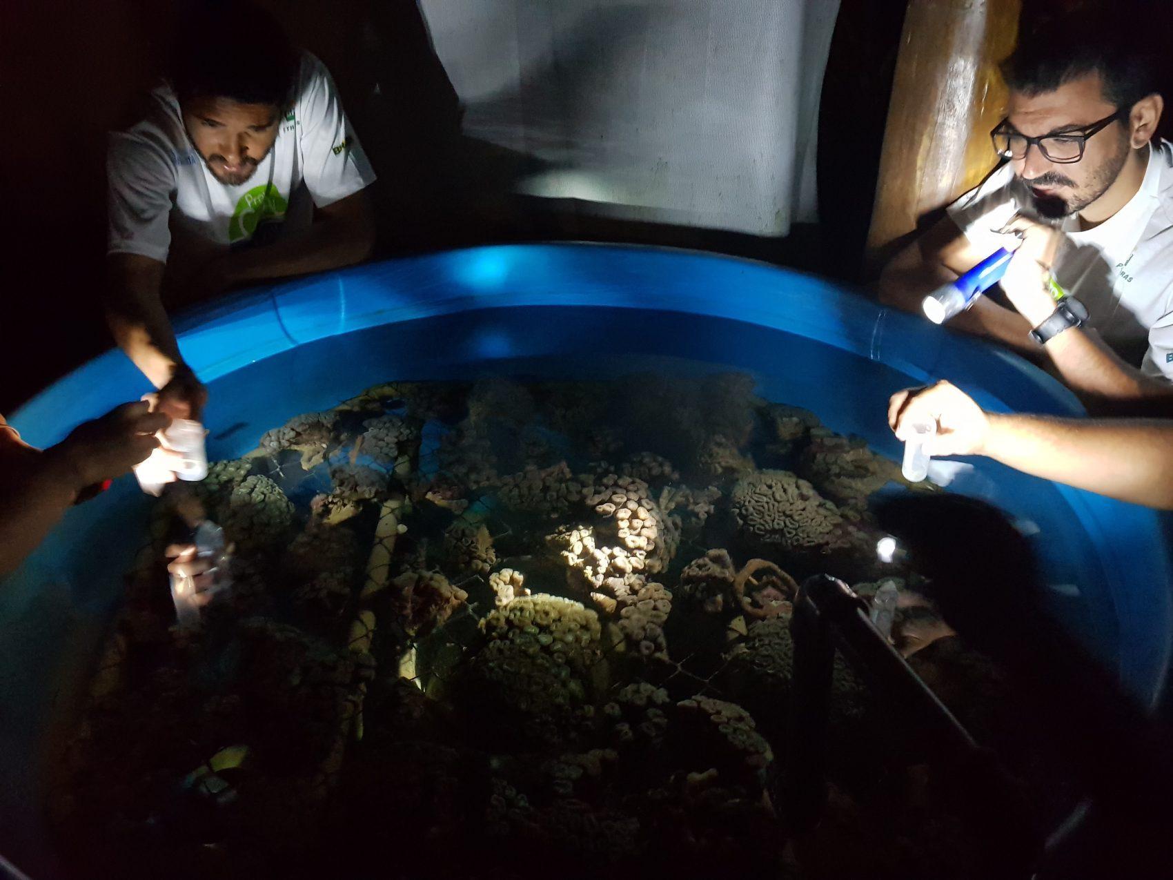 Monitoramento da desova do coral-couve-flor (Mussismilia harttii) na Base de Pesquisa do Coral Vivo (Foto: Leandro Santos | Projeto Coral Vivo)
